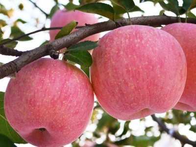 一女生每天吃一个蒸苹果 长期吃蒸苹果好吗