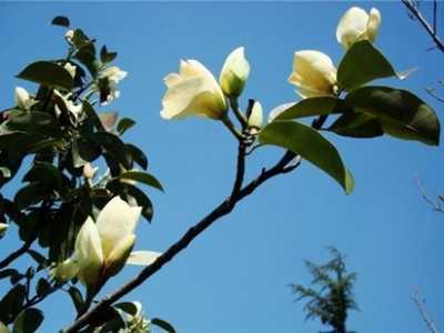 广玉兰的花语和传说 花语传说