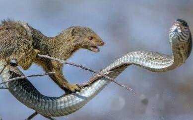 蛇的天敌是什幺 蛇代表什幺星